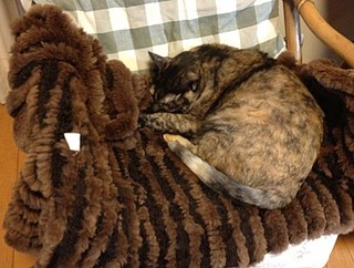 毛皮で眠るチョビ